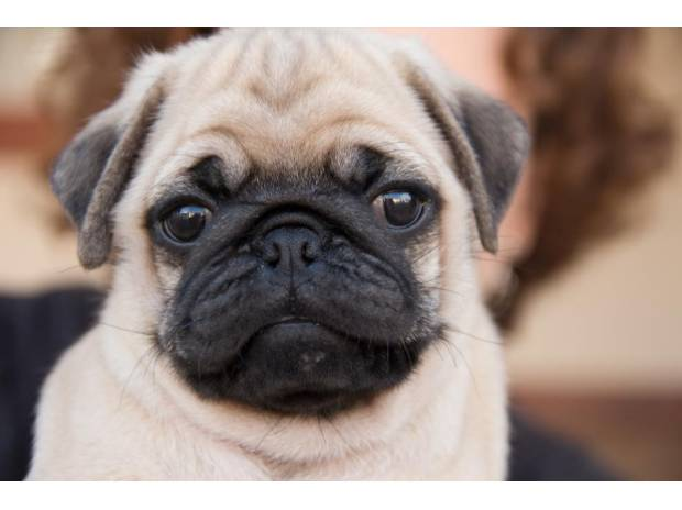 Photos for PUG PUPS FOR SALE IN HYD
