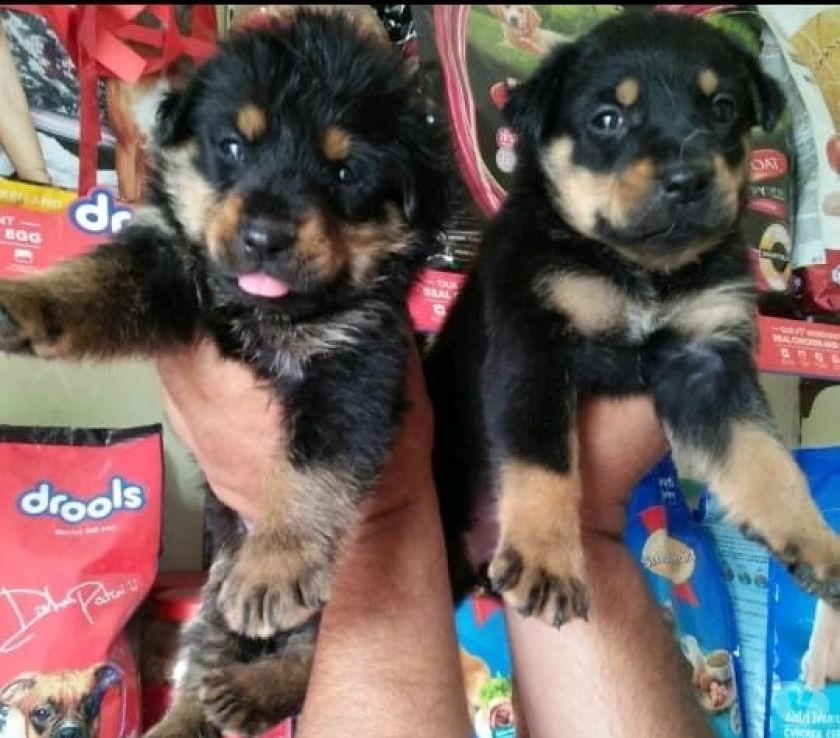 Buy & Sell Pets Mumbai - Photos for Pure breed puppies available all types of