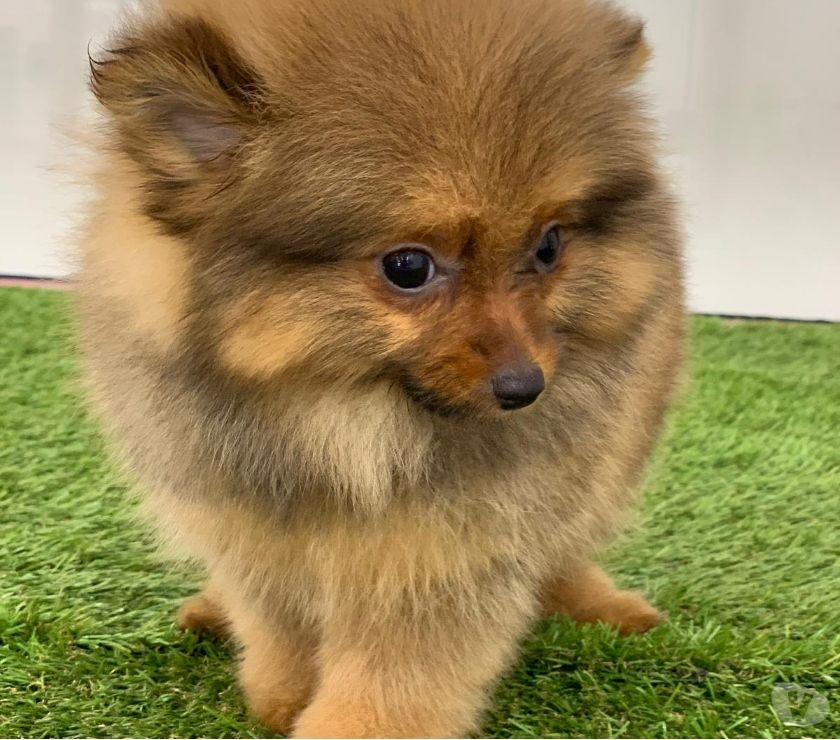 Pet Adoption Mumbai - Photos for male and female Pomeranian puppies for new homes