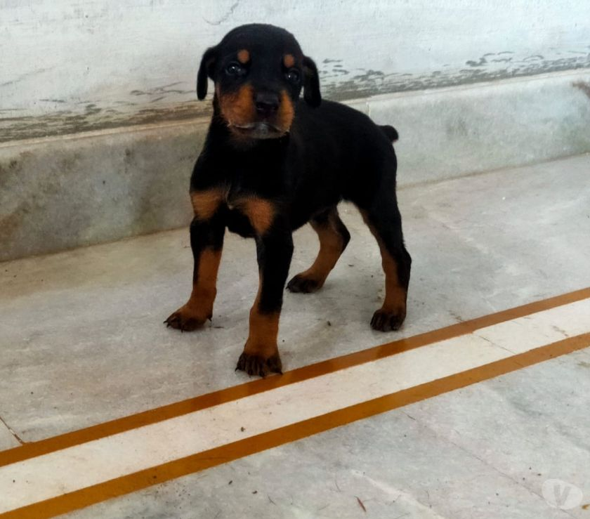 Buy & Sell Pets Davanagere - Photos for Show quality European daberman puppy