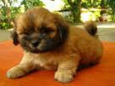 Cute and loving lhasa apso Puppies For Sale delhi Delhi