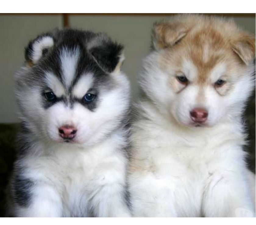 Buy & Sell Pets Bangalore - Photos for Adorable male and female husky puppies for new homes