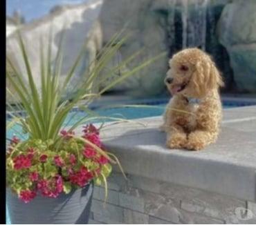 Fotos de Teddy Bear Faced Petite CKC Toy Poodle Stud
