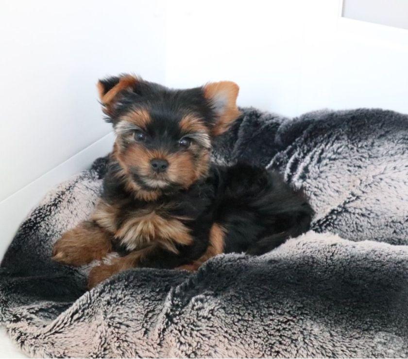 Fotos de Cachorros Yorkie encantadores para la venta