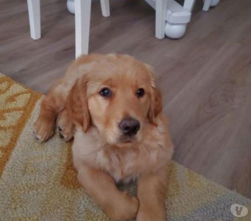 Mascotas en venta New York City Bronx - Fotos de Tanto mamá como papá son de color dorado naranja. Cachorro