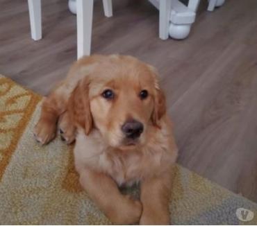 Fotos de Tanto mamá como papá son de color dorado naranja. Cachorro
