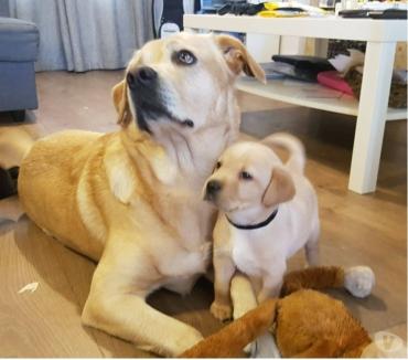 Fotos de *****cachorros labrador retriever****