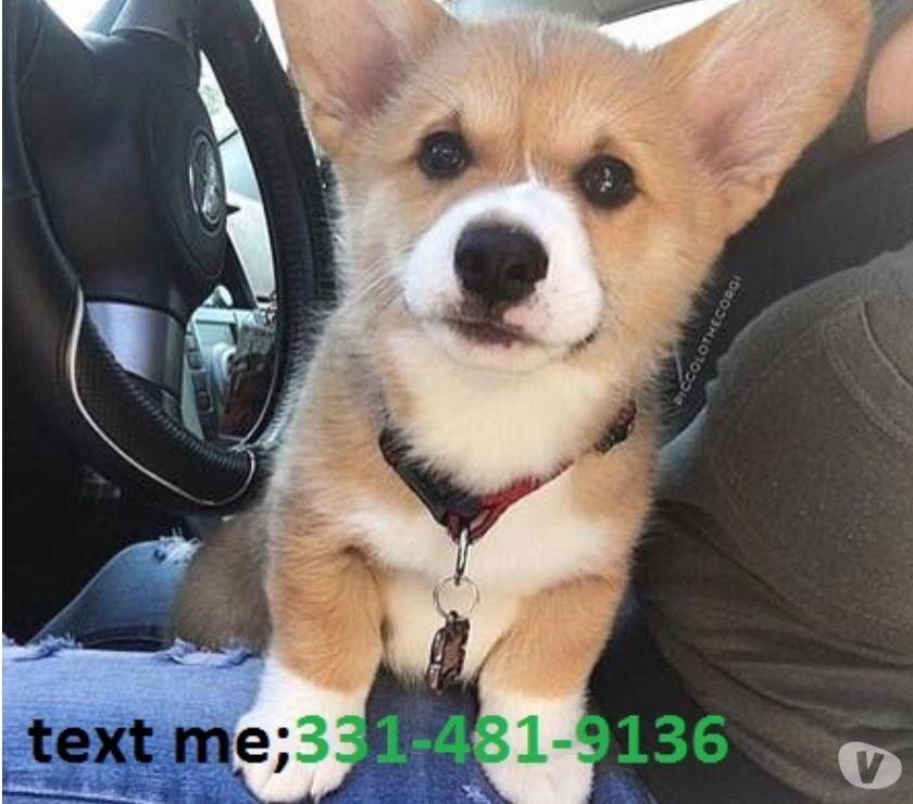 Mascotas en venta Hartford - Fotos de Fully potty trained Welsh Corgi