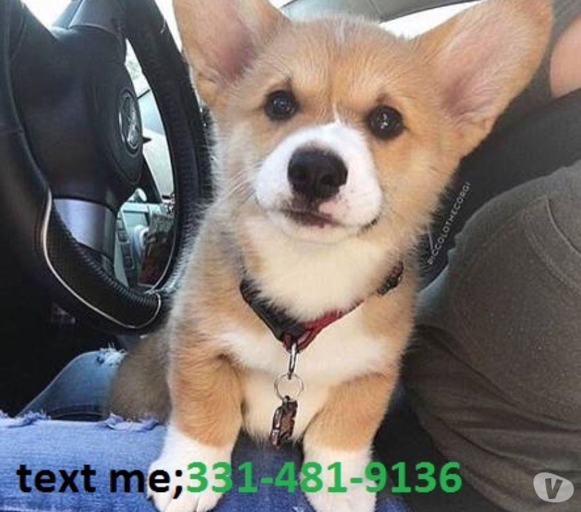 Mascotas en venta Bridgeport - Fotos de Corgi galés completamente entrenado