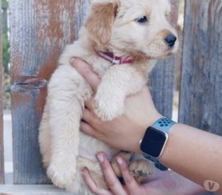 Mascotas en venta New York City Bronx - Fotos de ¡Nos quedan dos hermosos chicos!
