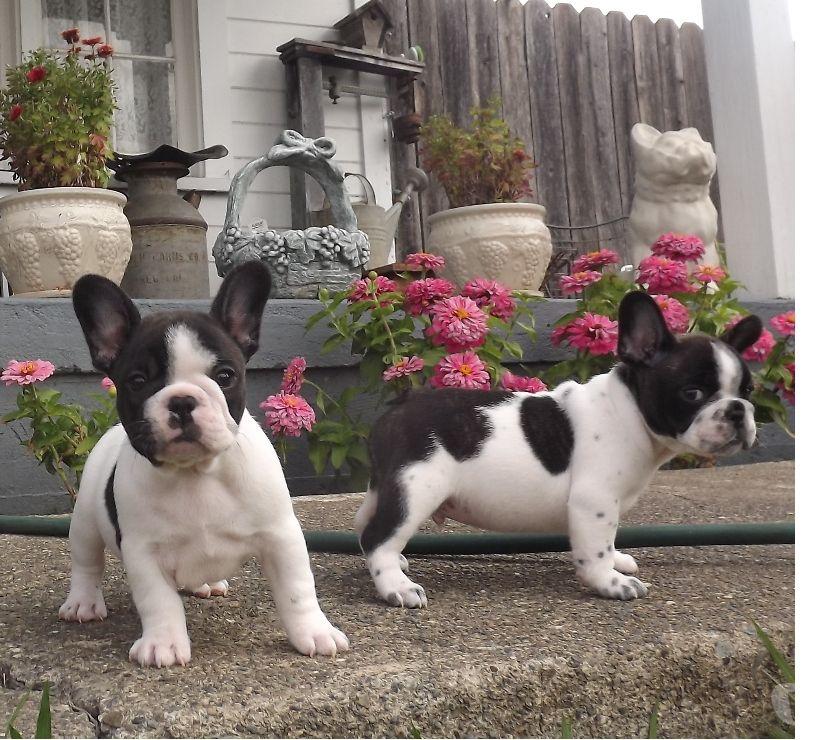 Mascotas en venta San Francisco San Francisco City - Fotos de Disponible cachorritos bulldog francés
