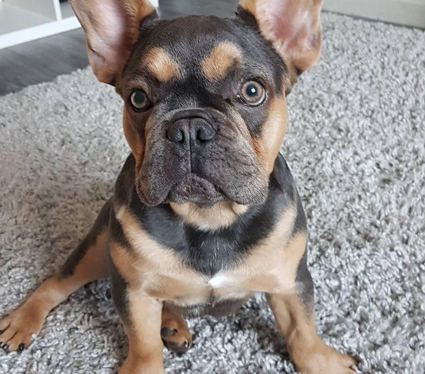 Mascotas en venta Austin - Fotos de BuLldoG francés cachorros machos y hembras ,,. ''