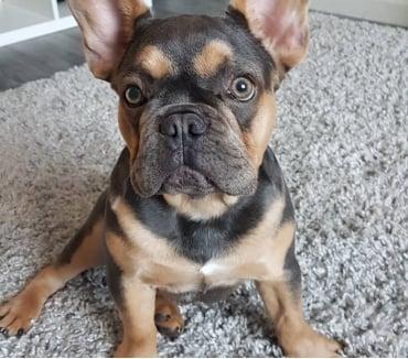 Fotos de BuLldoG francés cachorros machos y hembras ,,. ''