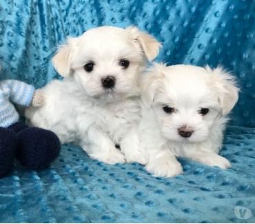 Fotos de *****bebés maltés blancos en venta....